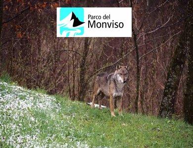 Il monitoraggio del Lupo in ambiente alpino: lo snowtracking